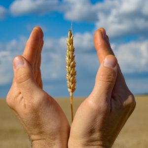 Human hands with wheat ears. Crop protection and care concept by e_mikh